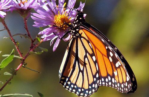 Las escamas de una mariposa monarca