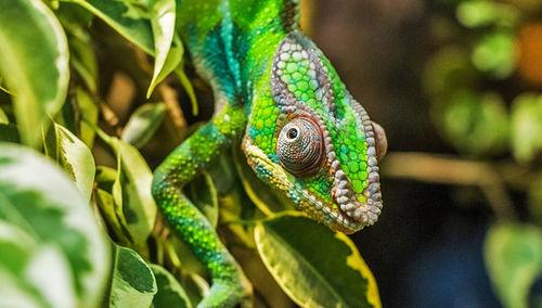 Selección Natural y el camuflaje de un camaleón